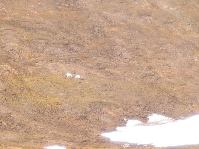 Den lille svalbardreinen finner mat overalt. (foto Terje Rønning).
