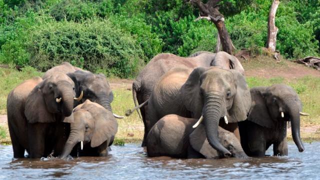 2019 09 30 - elefantene i Botswana